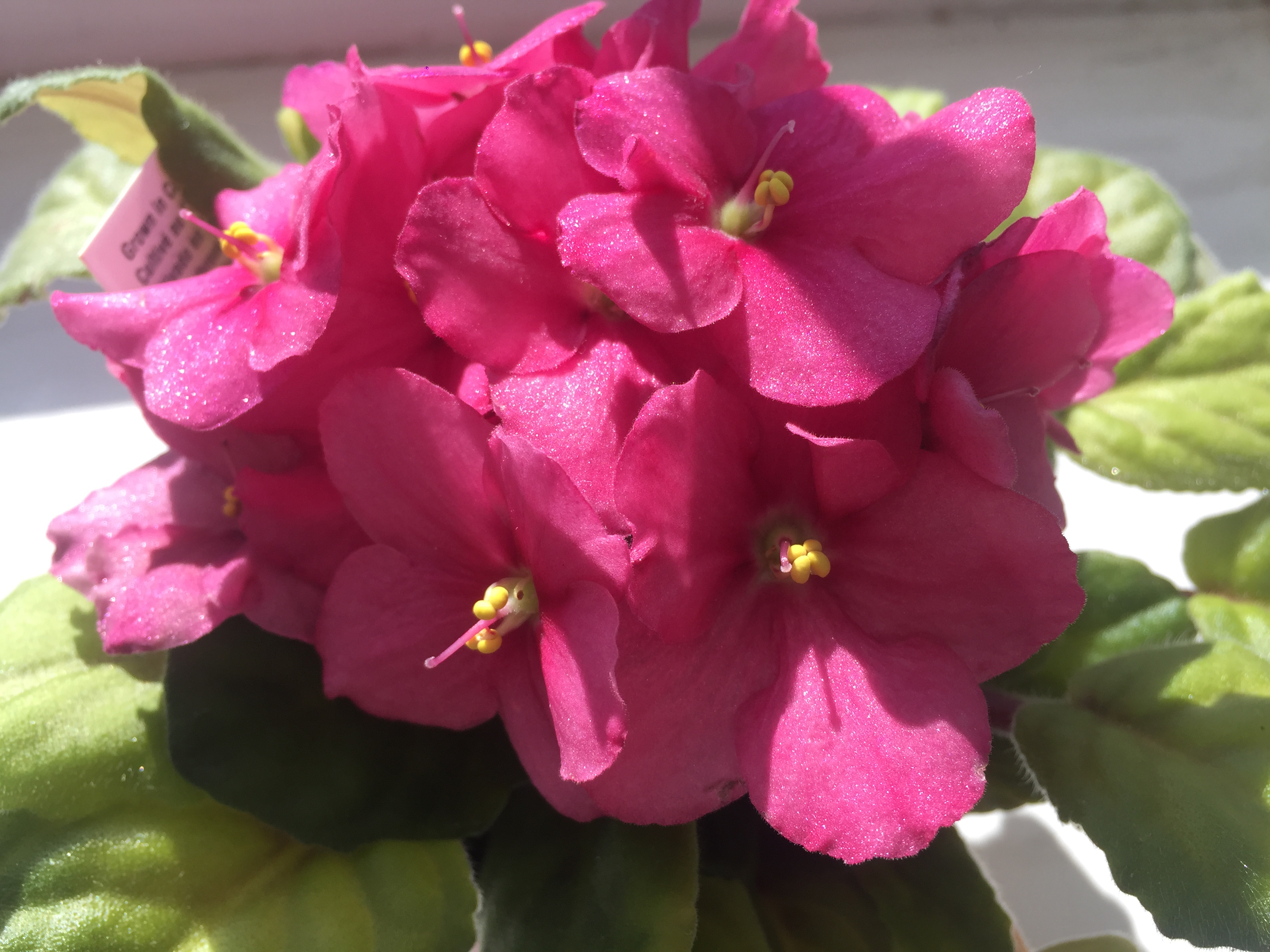 he colorful blooms of African violets are extra special. They'll instantly add color to any room.