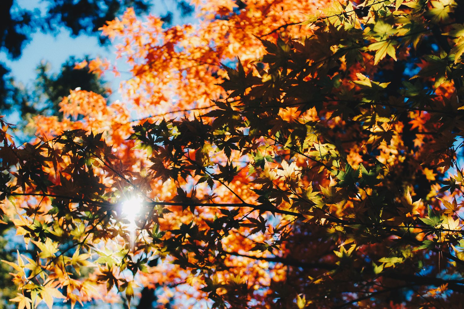 Sun shining through the leaves as they turn orange with autumn season